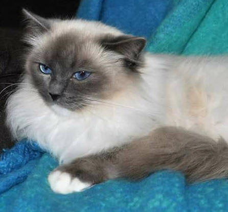 Ragdoll Cat Breeders Australia - Ragdoll Kittens for Sale