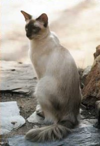 Balanese Cat Breed