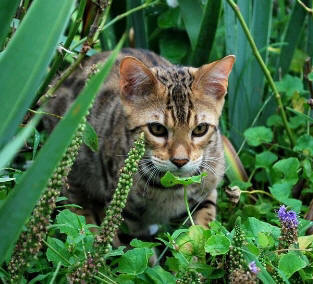 Bengal Cat picture