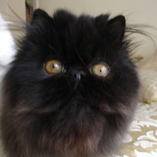 black female persian kitten