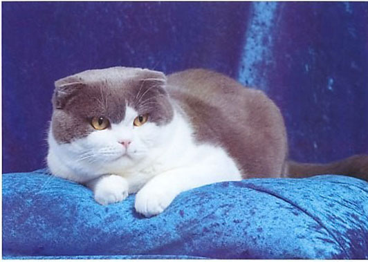 Scottish Fold Breed Pr...