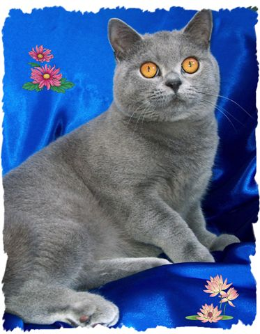 Cat breed photos british shorthair cat pictures