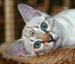 Cheetoh Cat Breed Cat Information Amp Pictures