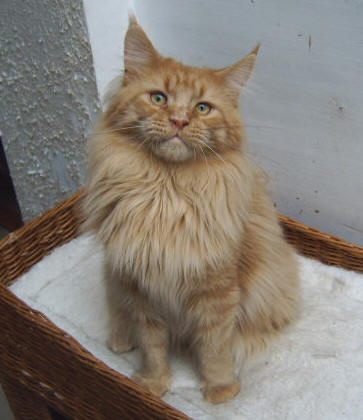 Photo Maine Coon Cat