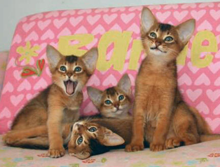 Abyssinian cats allergic