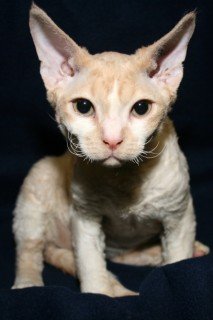 Cat Photos Devon Rex Cat Photos