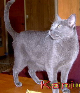 Cat breed photos russian and russian blue cat pictures
