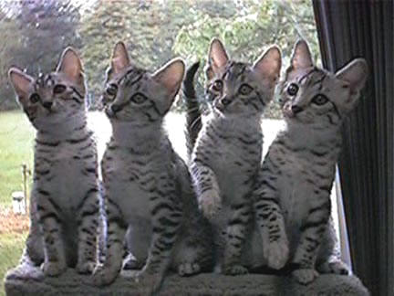 Egyptian Mau Cat Breed Profile