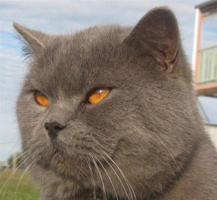 British Shorthair Bree...
