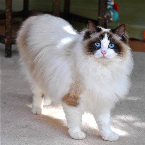 What are the different colors of ragdoll cats