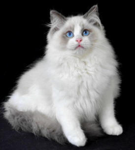 Long haired ragdoll cat