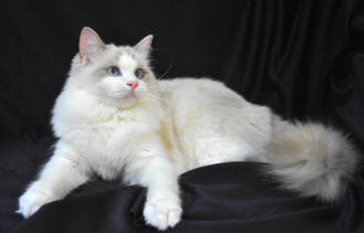 Ragdoll Cat Breed - Cat Pictures & Information