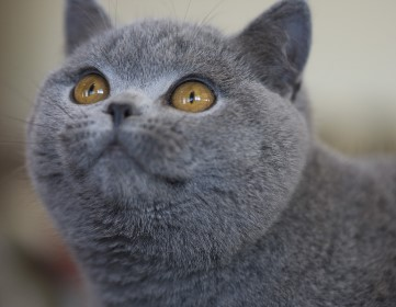 River-british-shorthair.jpg