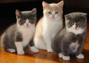 More Scottish Fold Pic...