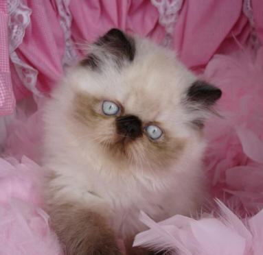 persian cat breed cat pictures amp information