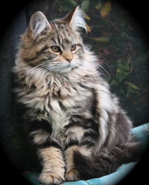 Maine Coon Cat Breeders Australia - Maine Coon Kittens for ...