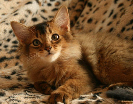 Somali Cat For Sale In India