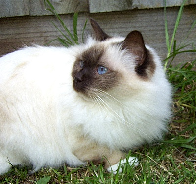 Birman Cat Breed Profile  Photos and Description