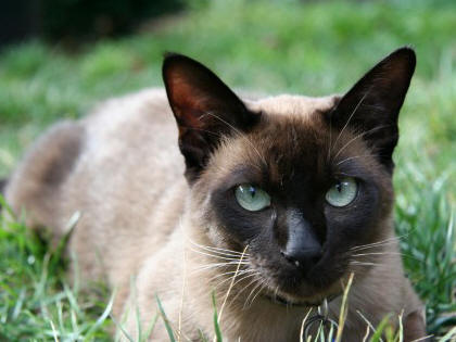 Tonkinese Cat Breeders
