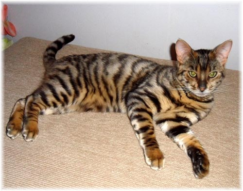 House Cat Breed Tiger