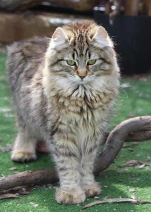 Tundra Cat Breed Cat Information Amp Pictures