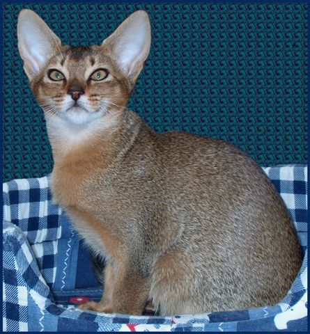 photo abyssinian cat