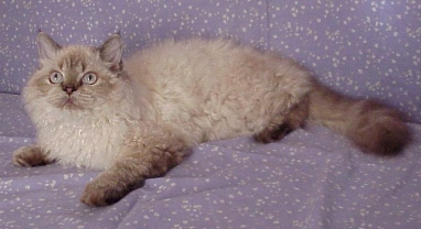 Selkirk Rex Cat Breed Cat Pictures Amp Information