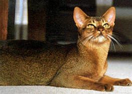 Abyssinian Cat Health Problems