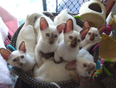 Balinese Kittens For Sale Balinese Cat Breeders Australia
