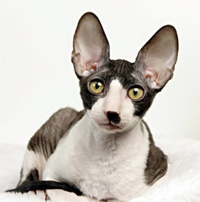 Cornish Rex Cat Breeders in