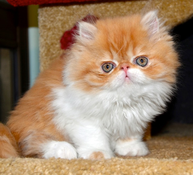 Related Links: Persian Cat Photos