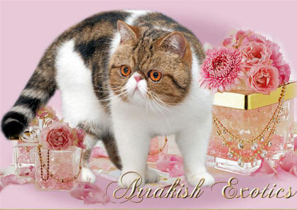 Exotic Shorthair Arrakish