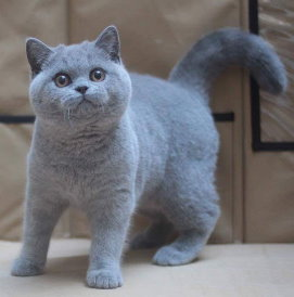 Barcoo British Shorthair