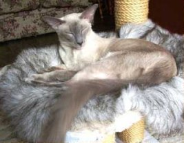 Balinese Cat Breed Profile  Photos and Description
