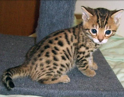photo bengal kitten