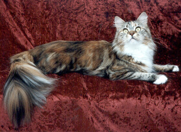 http://www.catsofaustralia.com/images/bigfoot-maine-coon.jpg