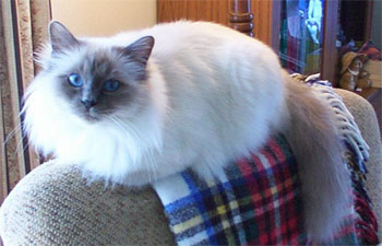 photo birman cat