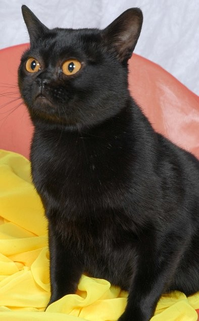 photo bombay cat