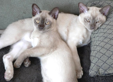 Burmese Cats Breed - Cat Pictures & Information