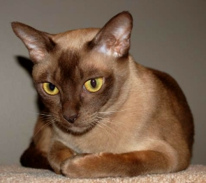 Different Breeds of Cats Burmese Information