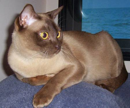 Burmese Cat Dhajisode Cats
