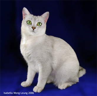 Burmilla Breed Profile