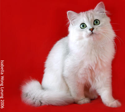 Longhaired Burmilla Cat