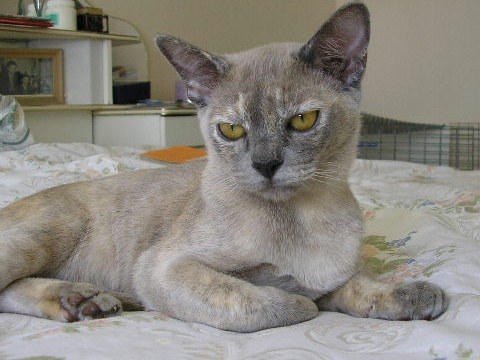 Cat breed photos burmese cat pictures