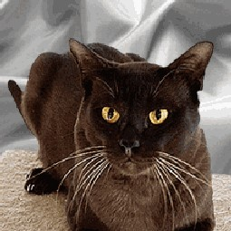 Photo Burmese Cat