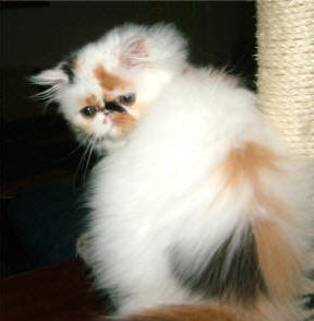 chriscott-persian-cat.jpg