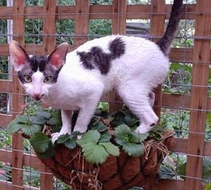 Hypoallergenic Cats - Cornish Rex Cats