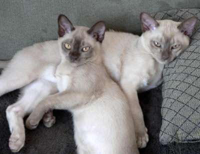 cute_burmese_kittens.jpg