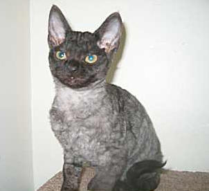 Hypoallergenic Cats - Devon Rex Cat