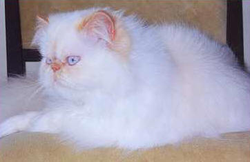Himalyan Cat Breed Profile Description and Photos